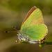 Callophrys rubi, Grøn busksommerfugl