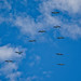 A Pod of Flying Pelicans against Blue Sky and Clouds