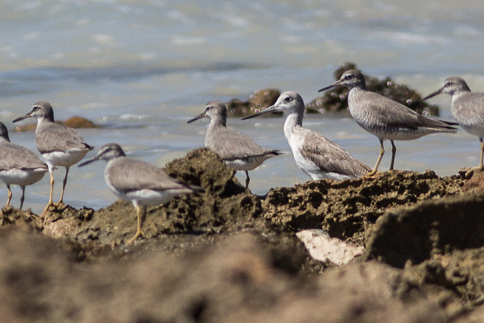 Common Greenshank maybe