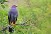 african harrier-hawk by tdwrsa-2