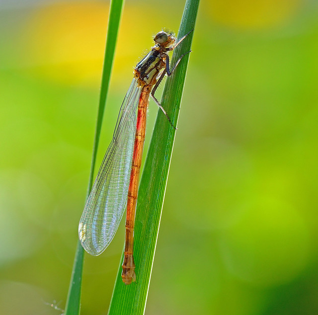 Large Red Damselfly,Emergent female.