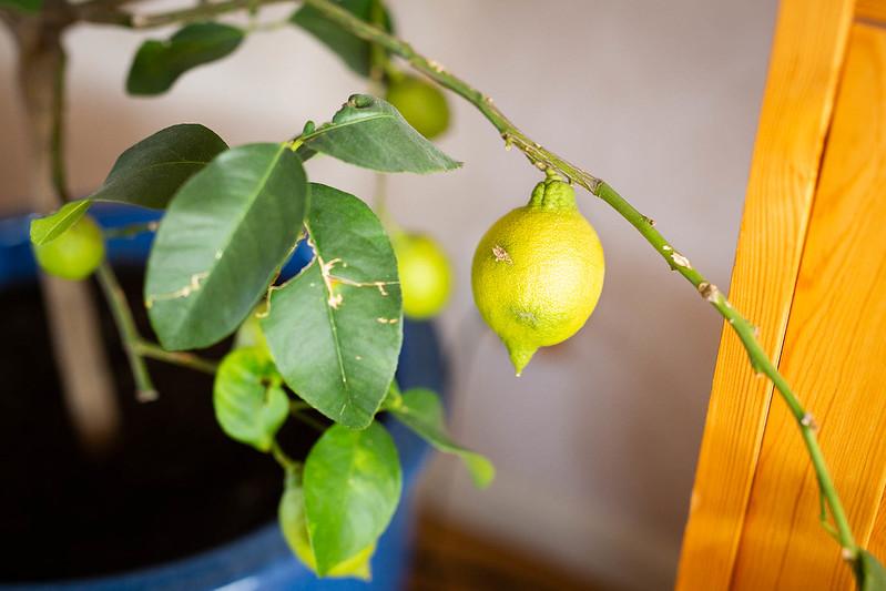 Citron - Amoll.net
