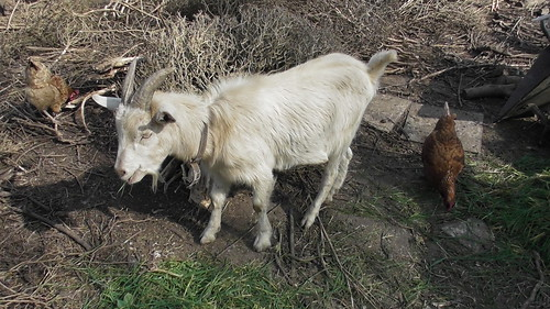 Gerry the goat Apr 19