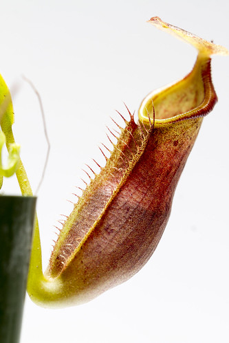 Nepenthes naga