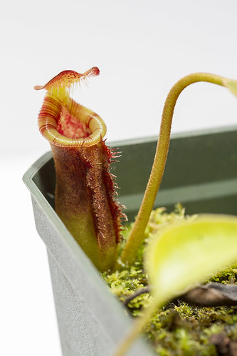 Nepenthes lowii Trusmadi CK sg