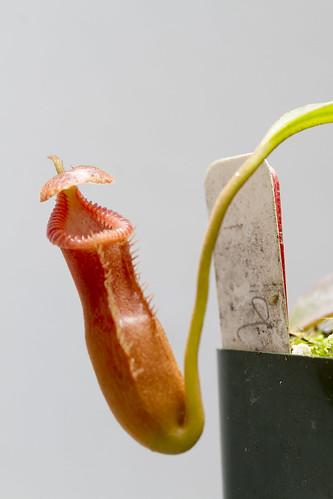 Nepenthes edwardsiana Tambuyukon sg
