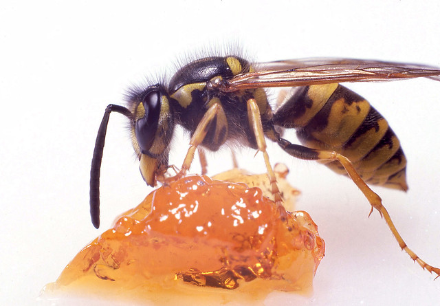 Wasp on quince jelly