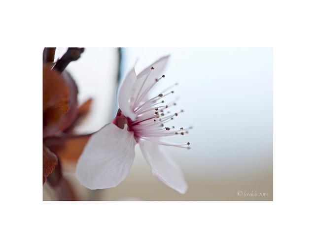 Flor del ciruelo de jardín.