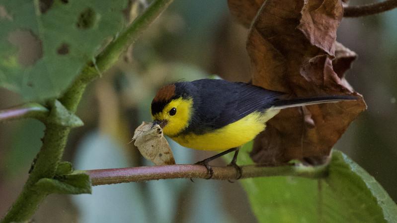Collared Redstart, Myioborus torquatus Ascanio_Best Costa Rica 199A8329