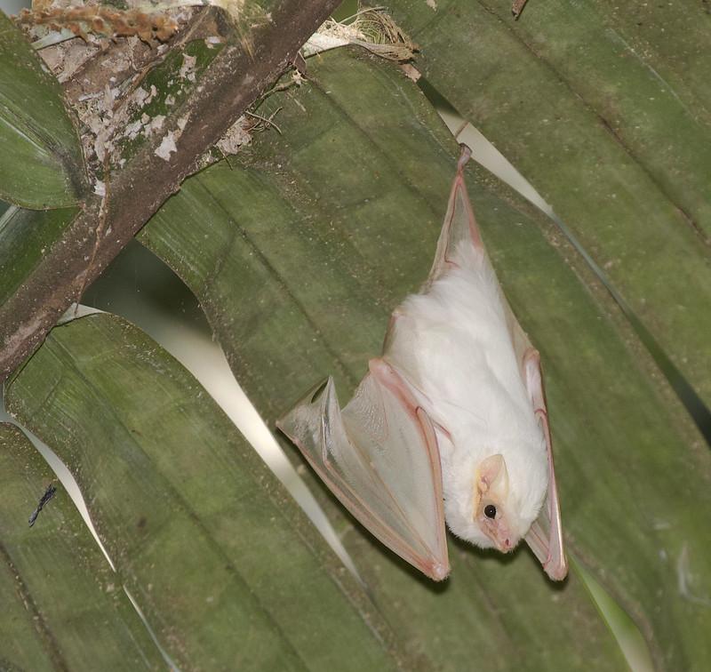 Northern Ghost Bat, Diclidurus albus Ascanio_Best Costa Rica 199A8673