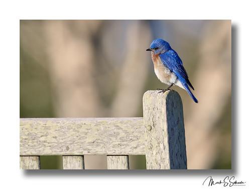 northernbluebird bluebird weldonspring stcharlescounty missouri nikon d850 600mmnikkor