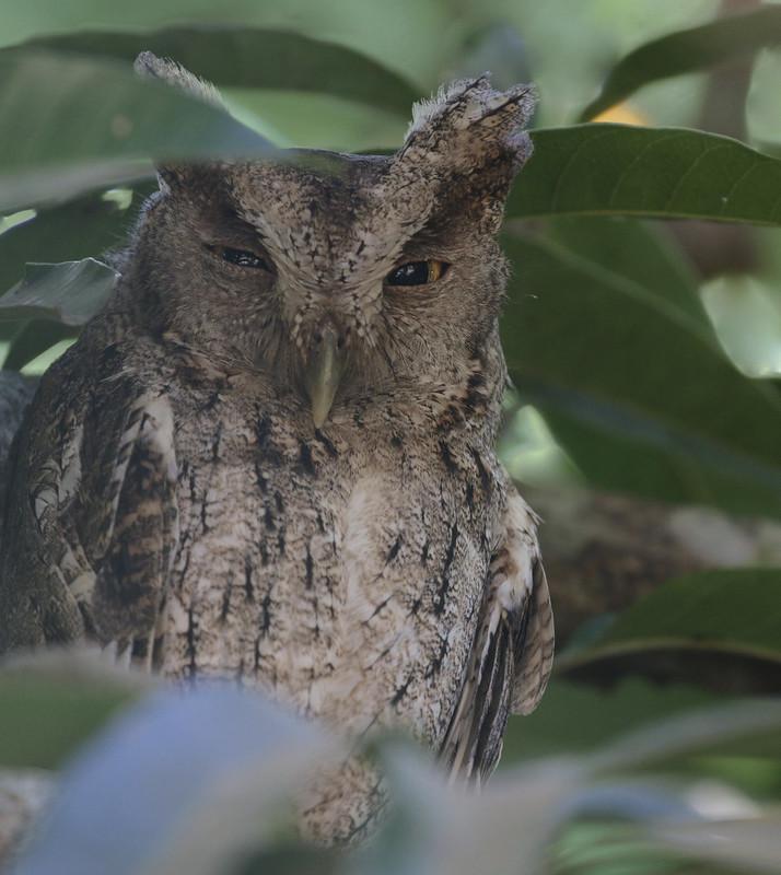 Pacific Screech-Owl, Megascops cooperi Ascanio_Best Costa Rica 199A8182