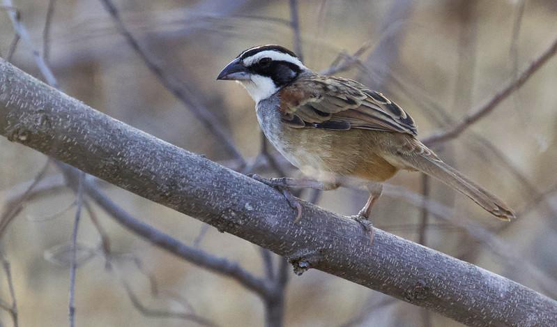 Stripe-headed Sparrow, Peucaea ruficauda Ascanio_Best Costa Rica 199A7734