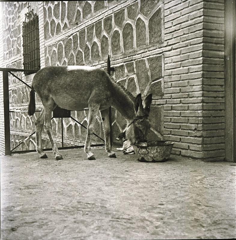 Burro en Toledo a mediados del siglo XX. Fotografía de Victoriano de Tena Sardón