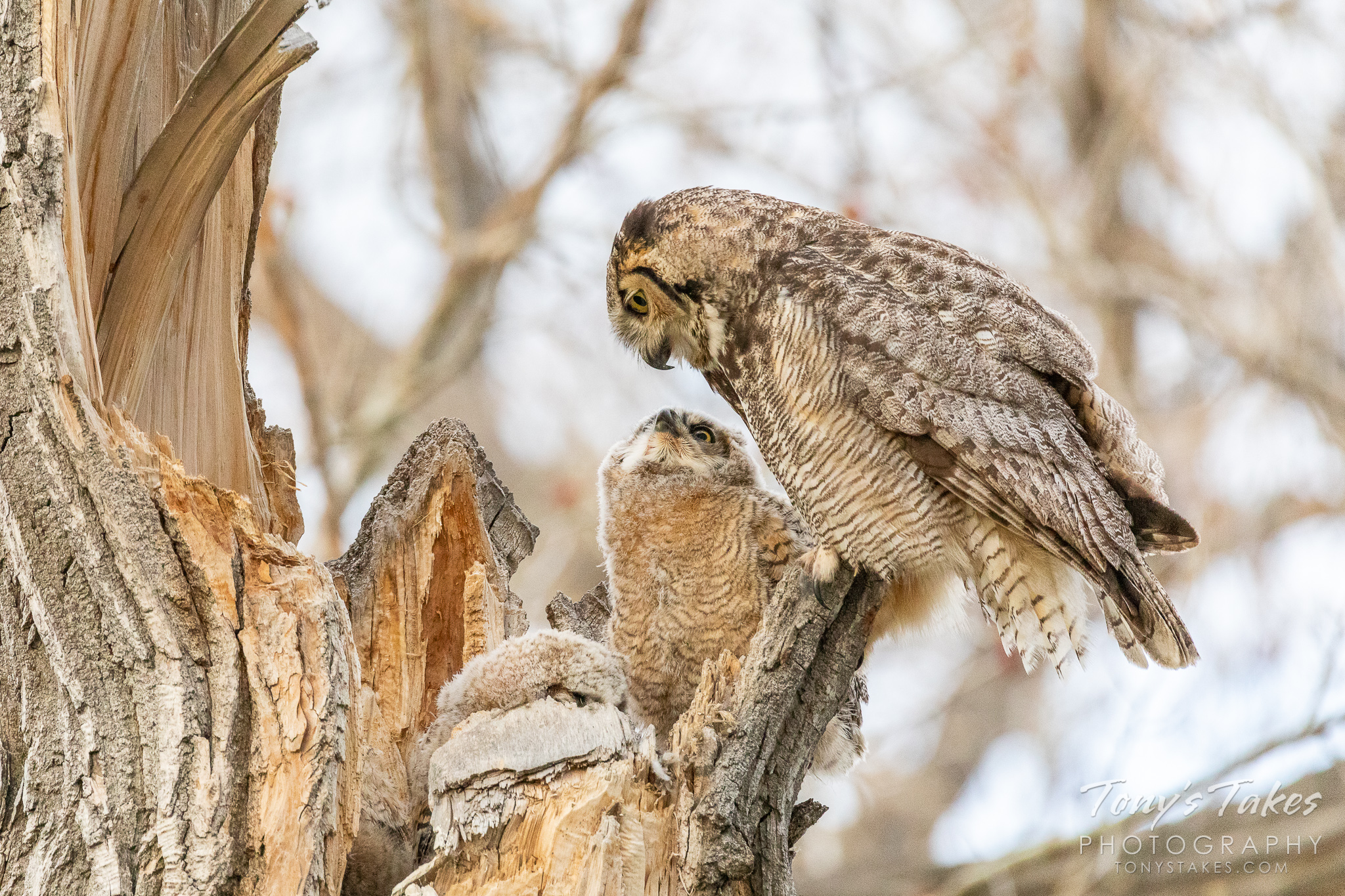 A great horned owl and owlet enjoy some quiet time in Colorado. (© Tony's Takes)