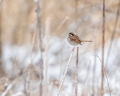 White-throated Sparrow Watching the Snowfall