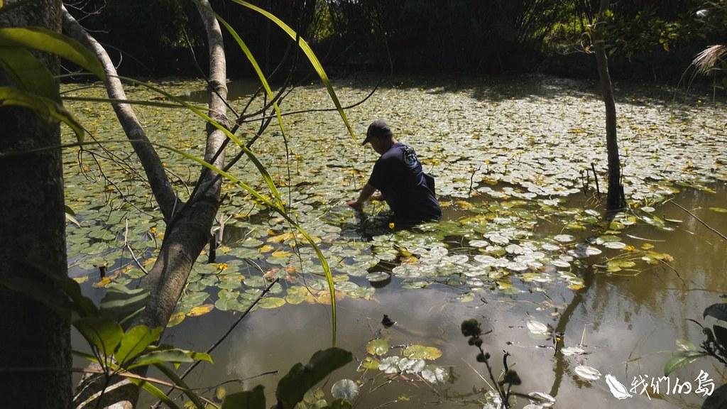 1001-3-7台灣萍蓬草是道地的台灣特有種,目前除了人為營造的生態池,台灣幾乎快找不到野生族群。