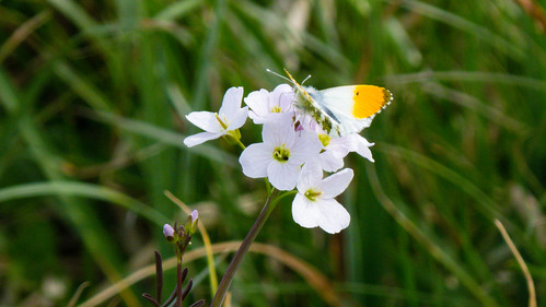 Orange tip butterfly, lady's smock, Doxey