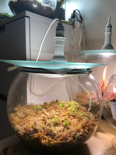 Drosera prolifera terrarium