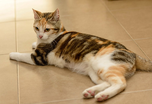 Zoe, gatita tricolor jaspeada divertida y guapa esterilizada, nacida en Septiembre´18, en adopción. Valencia. 33789125158_1c94b852d8