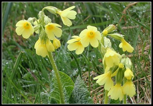 Primula elatior - primevère des bois 33789446728_9626e21cc3