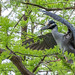Yellow-crowned Night-heron at the Riverwalk by DaveSticker