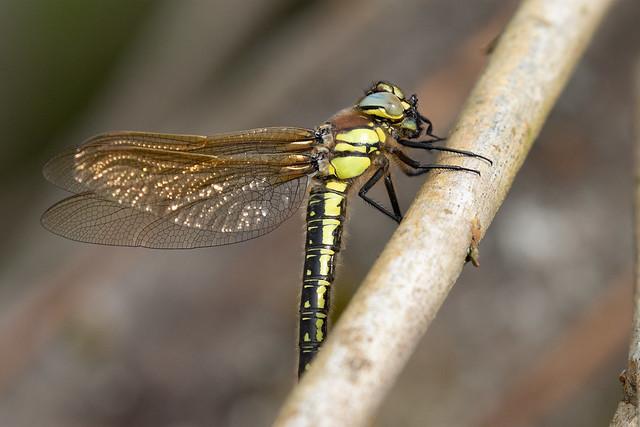 Hairy dragonfly f