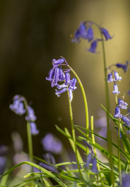 Bluebells at the Outwoods