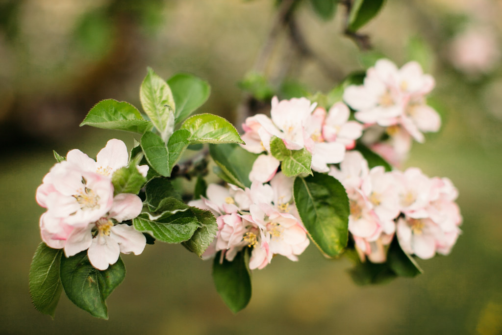 apple blossom-49