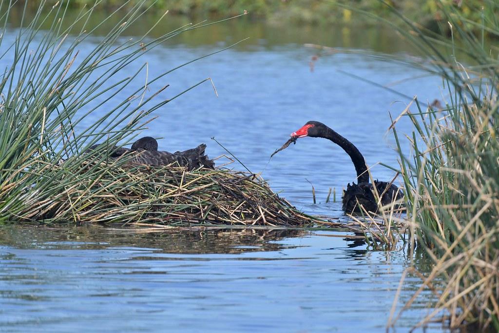 Black Swan ( nesting time )