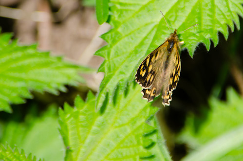 Speckled wood flapping wings, resting on nettle leaf