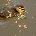 Baby duckling on the canal