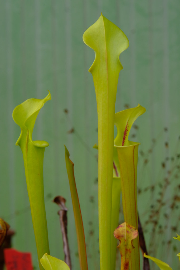 Sarracenia flava seedling