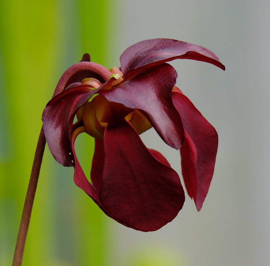 Sarracenia rubra black hybrid flower