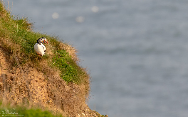 Puffins taking in the view