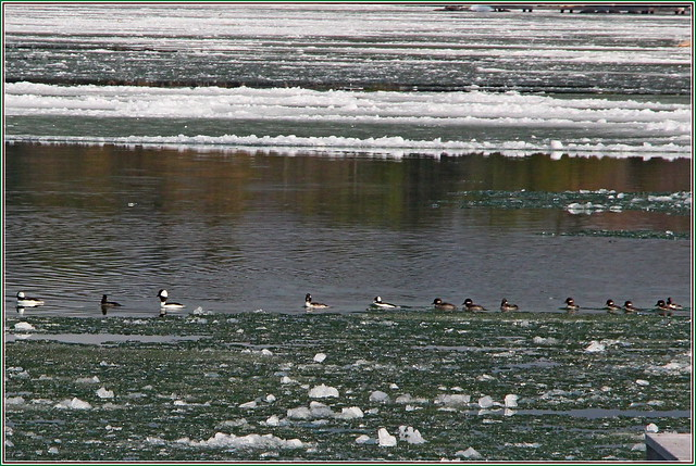 IMG_0384 13 Ducks in a Row, 21 April, 2019