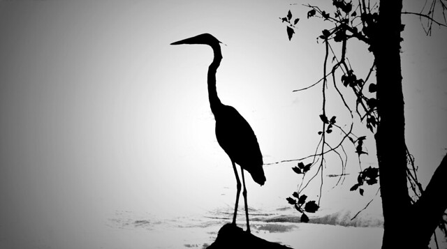 """""""Silhouette of a Blue Heron"""""""