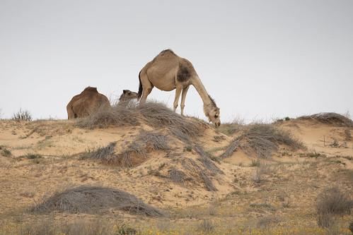 camelidae camelus dromedarius israel negev arabiancamel dromedary
