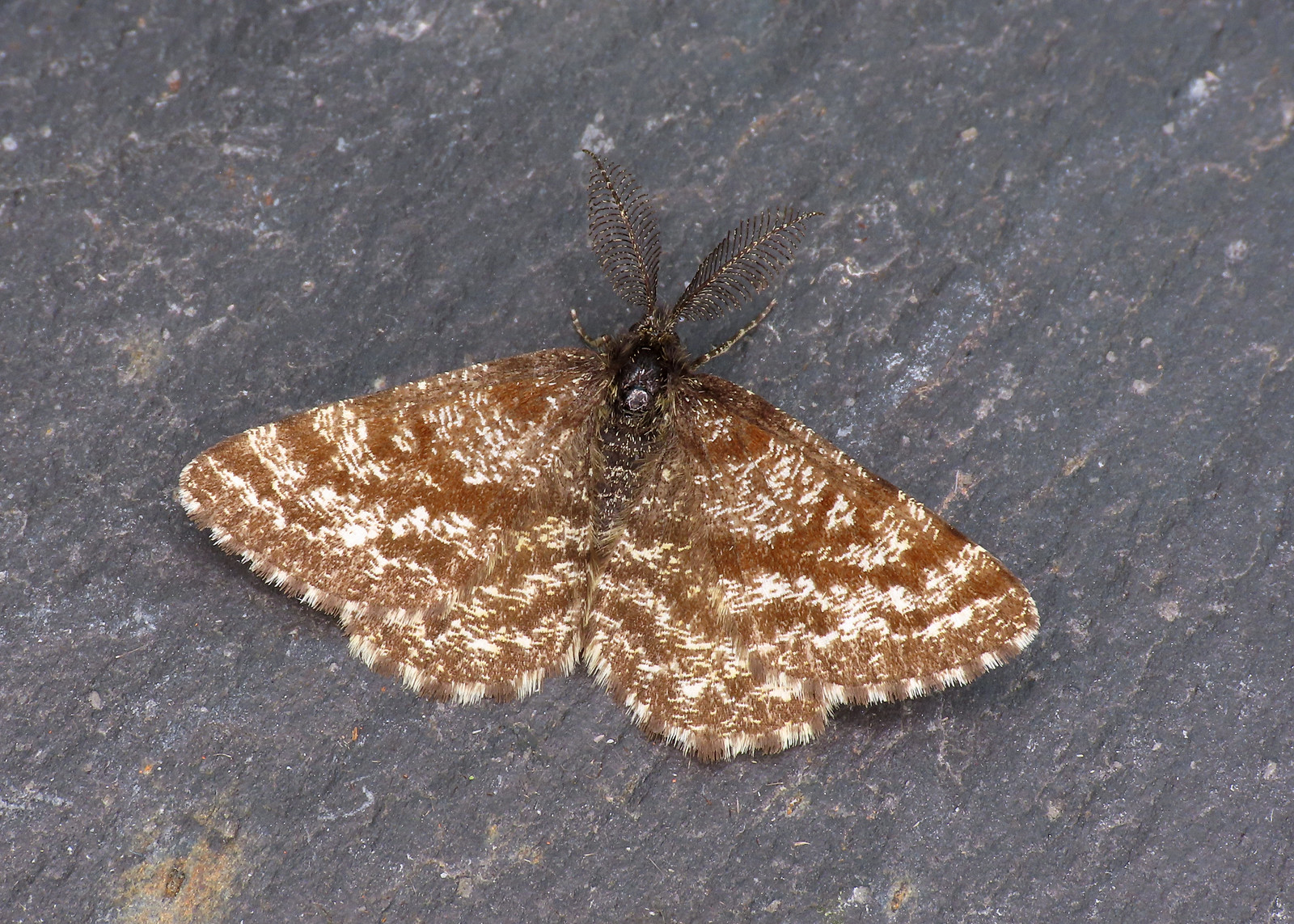 70.275 Common Heath - Ematurga atomaria