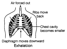Respiration in Organisms Class 7 Notes Science Chapter 10 3