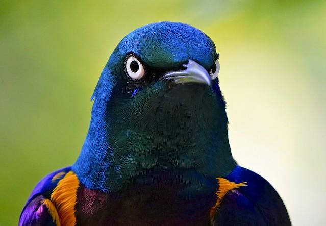 Portrait Of Super Starling