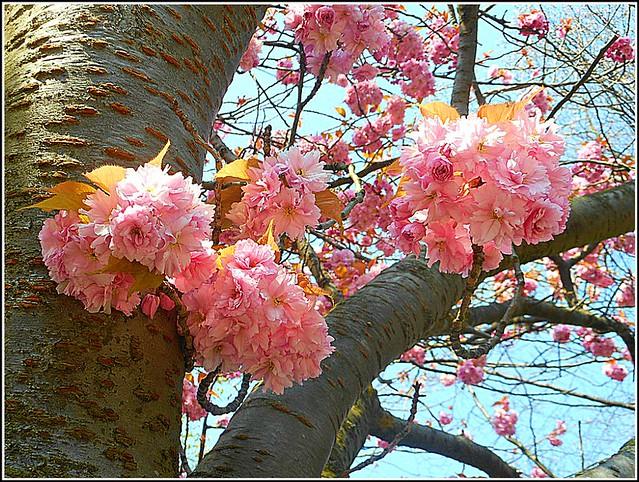 Cherry Blossom Tree ..