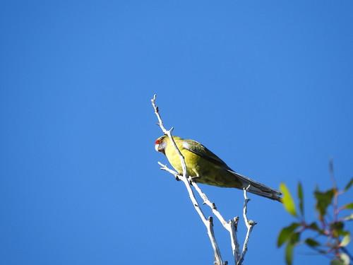 parrot greenrosella bird