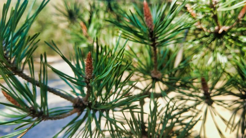 Куршская коса, лес возле Высоты Мюллера