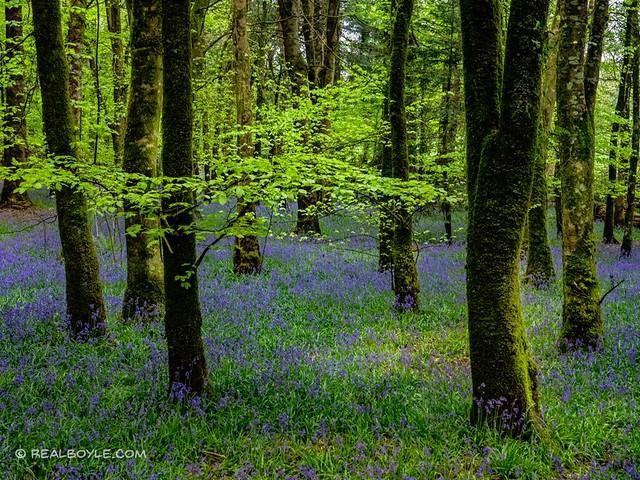 Derreen Wood Bluebells