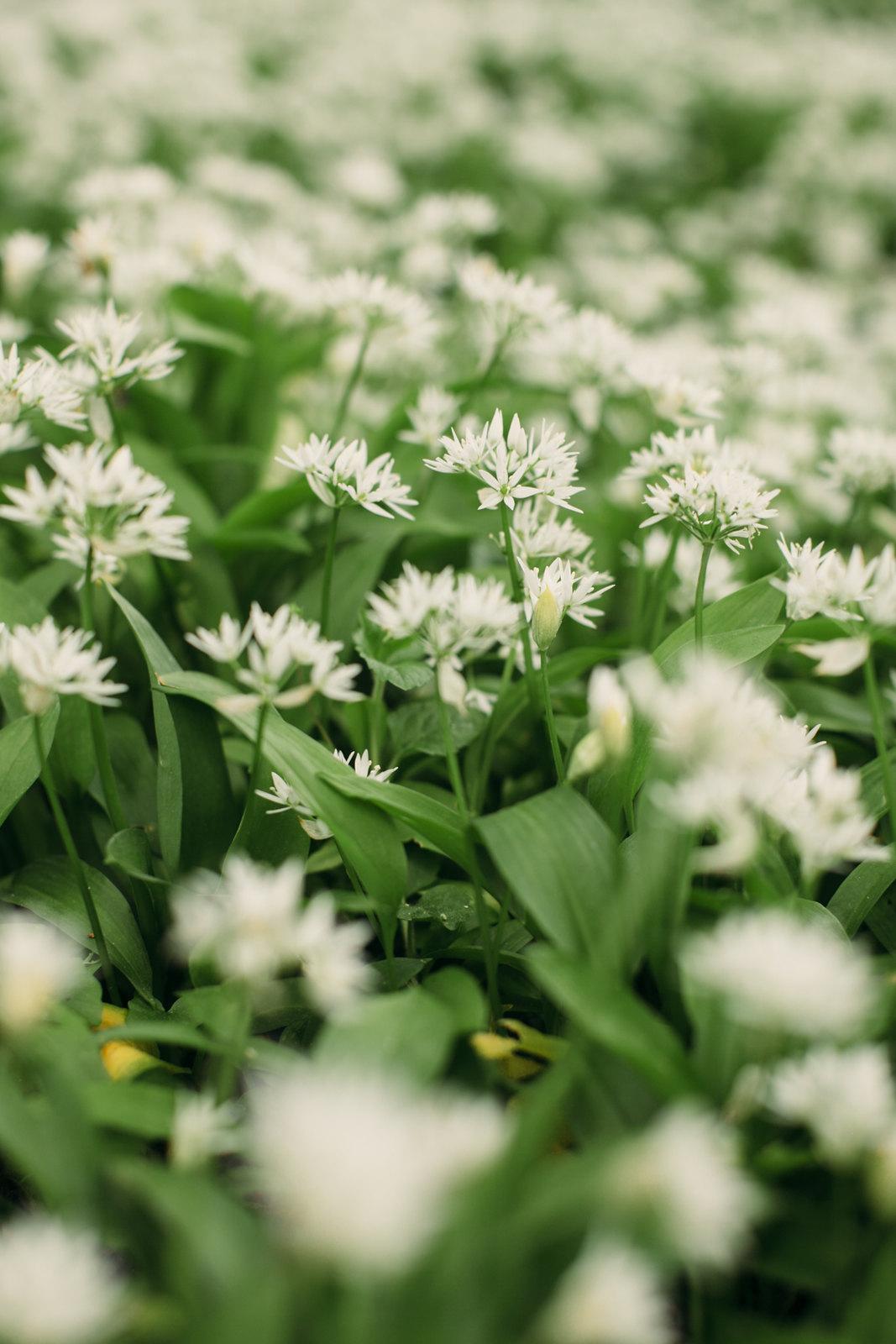 wild garlic-36