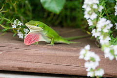 Green Anole Showing Off-4
