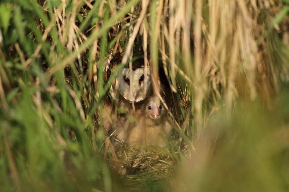 草鴞母鳥與幼鳥在巢位中(在高雄拍攝)-高雄鳥會草鴞團隊提供