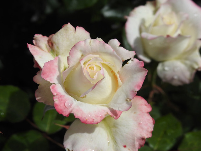White With a Pink blush