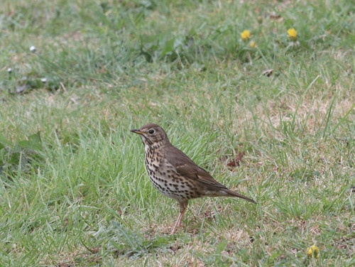 Song thrush on the lawn